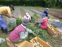 農産物(玉ねぎ収穫)